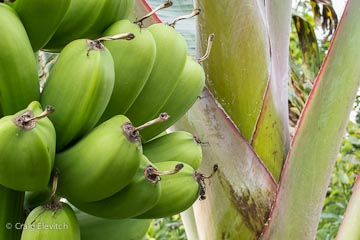 Several banana varieties will be available for purchase at the festival.