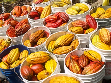 Freshly harvested cacao pods at Kokoleka Lani.