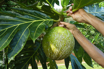 Harvesting breadfruit by hand.