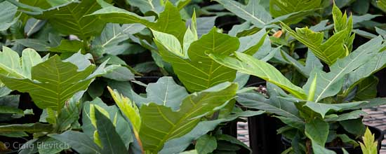 'Ma'afala' trees in one gallon pots at Kona 'Ulu nursery ready for outplanting.